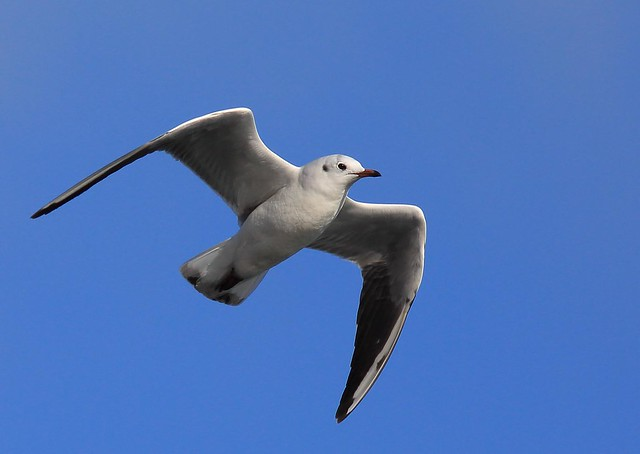 Black Headed Gull, still unhooded.Plenty of others seen today had their ski masks on, odd that this one didn't?
