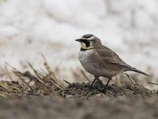 Horned Lark | by Stephen.Hood