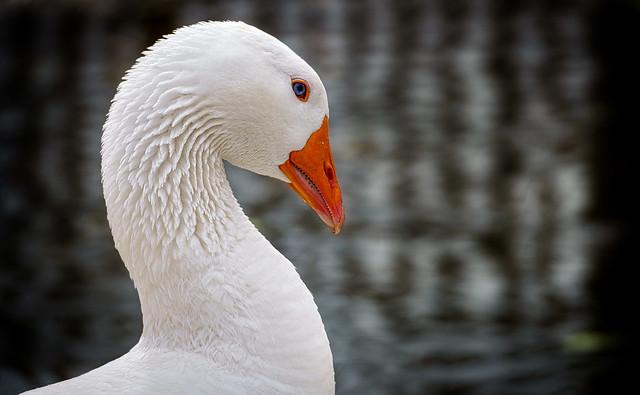 Blue-Eyed Goose