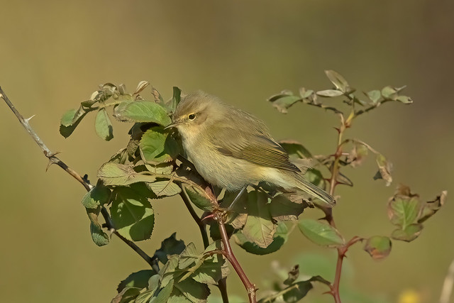 Common Chiffchaff, Kilminning, Fife