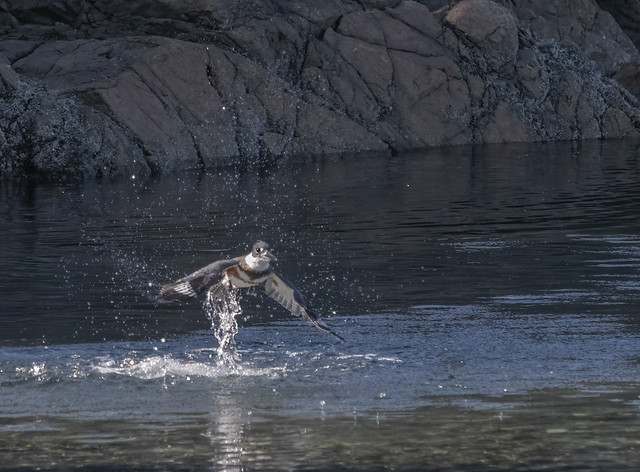 Belted Kingfisher dive sequence