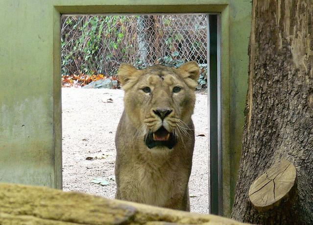 Asiatische Löwin (Panthera leo persica) P1160118