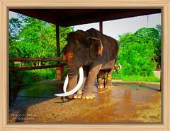 Oldest Elephant of Srilanka