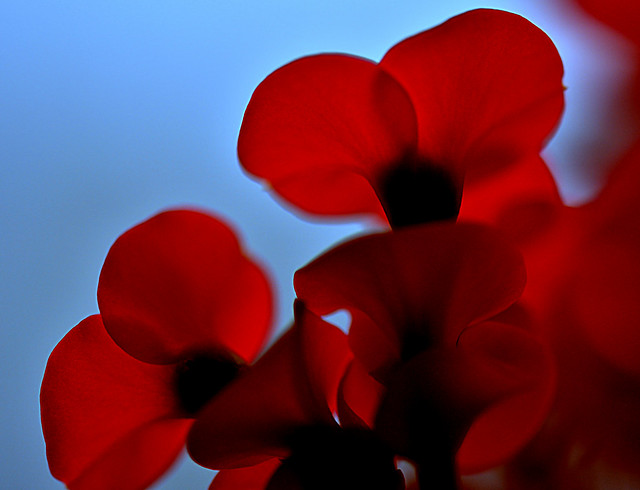 light in the petals of a red flower