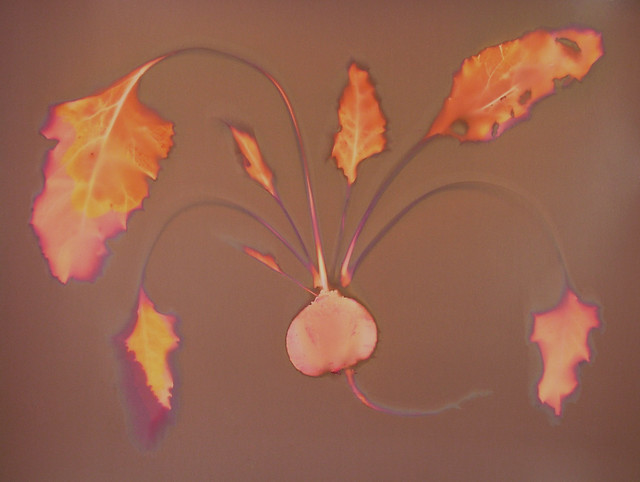 Lumen Print 1941 Beet by John Fobes: copyrighted all rights reserved