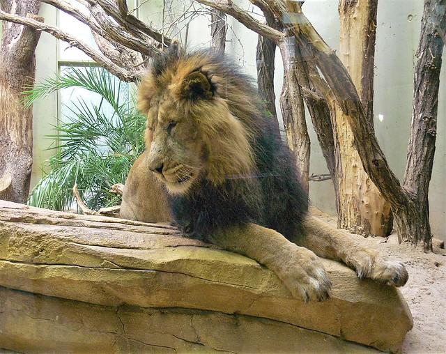 Asiatischer Löwe (Panthera leo persica) P1160135