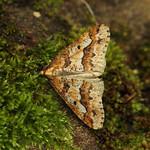 70.256 Mottled Umber (Erannis defoliaria), Burntisland, Fife