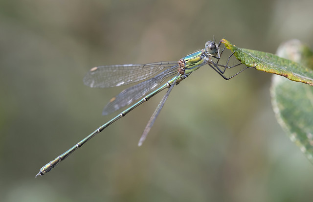 Willow Emerald (Lestes viridis).