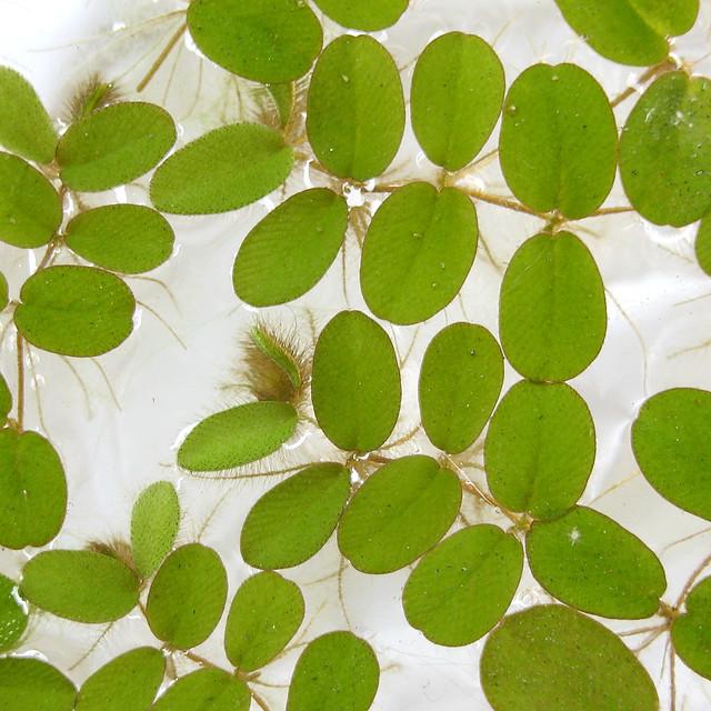サンショウモ 山椒藻 サルビニア ビオトープ 水生植物 Floating Fern Salvinia natans