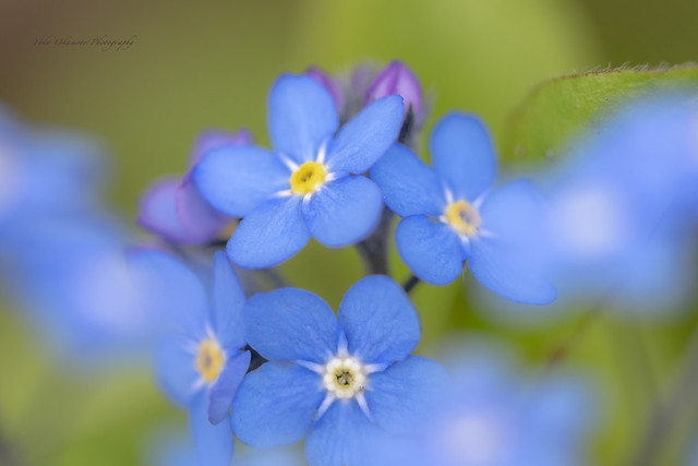 Forget-me-not    勿忘草