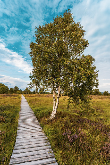 Past The Birch Tree
