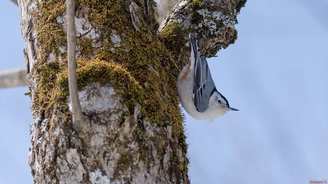 Sittelle à poitrine blanche, White-breasted Nuthatch - Québec, Canada - 3167