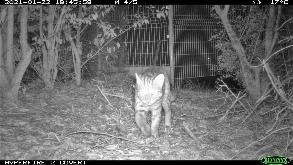 苗栗縣通霄鎮北勢窩光電場的自動攝影機拍攝到石虎穿越。圖片來源:普登科技提供