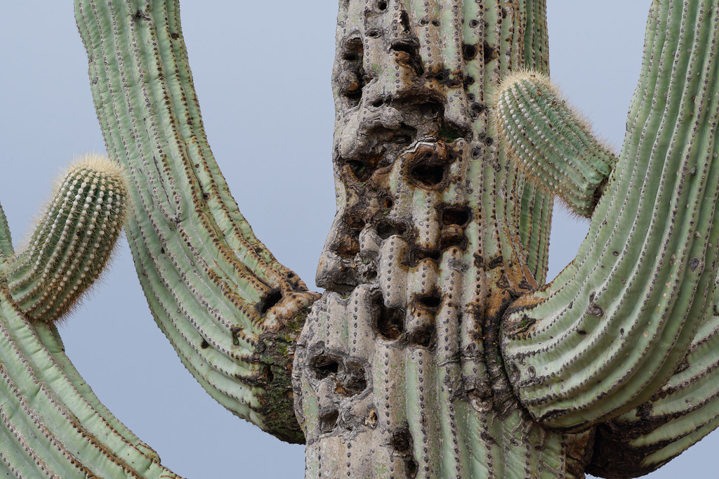 Damage in an old saguaro reminds me of a Cyberman from Doctor Who on the interpretative trail at Fraesfield in McDowell Sonoran Preserve in Scottsdale, Arizona on January 24, 2021. Original: _RAC3679.arw