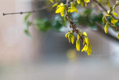 Forsythia -  first flowers