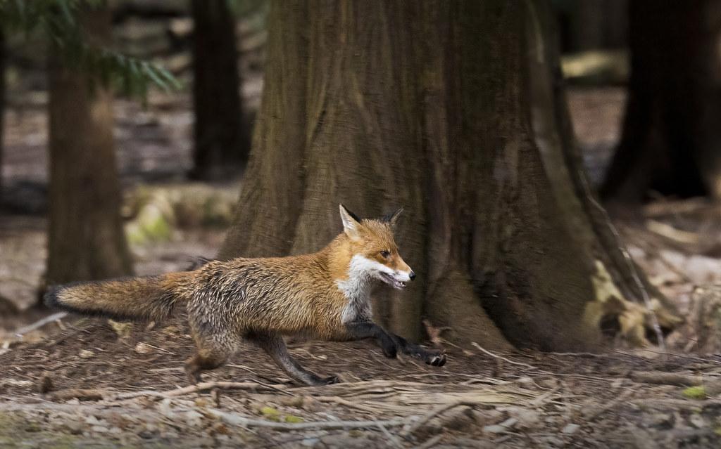 Fox_9538