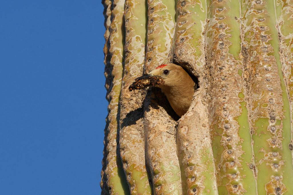A male Gila woodpecker removes debris from his nest in a saguaro on the Latigo Trail in McDowell Sonoran Preserve in Scottsdale, Arizona on May 28, 2019. Original: _DSC5356.arw