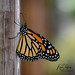 The monarch butterfly is one of the most recognizable and well studied butterflies on the planet.