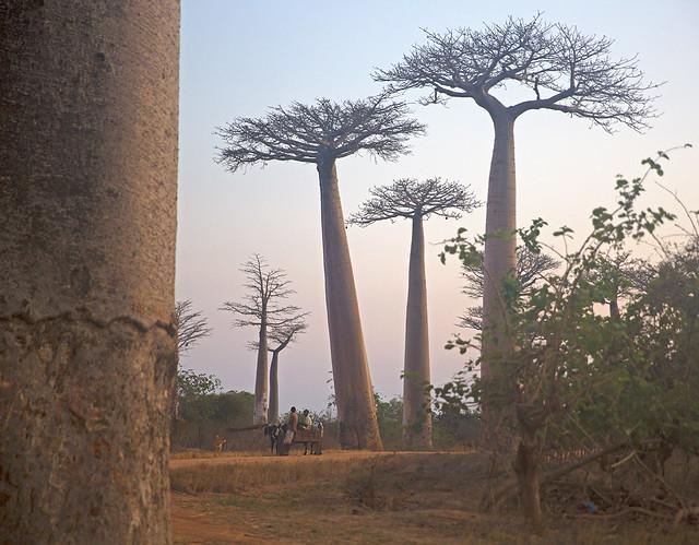 Baobab Alley (Explored)