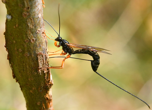 Buktläppstekel / Parasitoid Wasp (Dolichomitus imperator) hona
