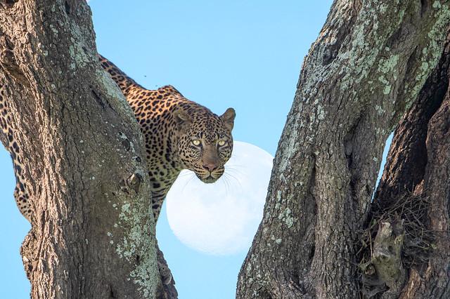Moon- Leopard
