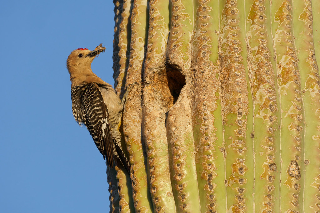 A male Gila woodpecker brings a moth to his nest in a saguaro on the Latigo Trail in McDowell Sonoran Preserve in Scottsdale, Arizona on May 28, 2019. Original: _DSC5120.arw