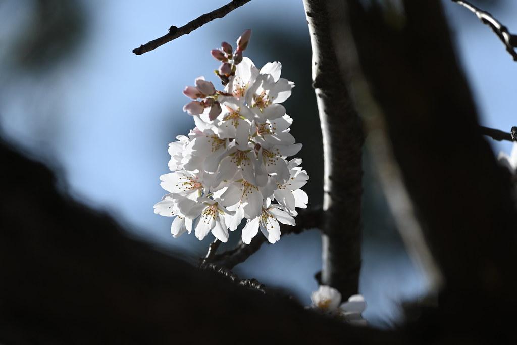 近衛邸跡の糸桜 9