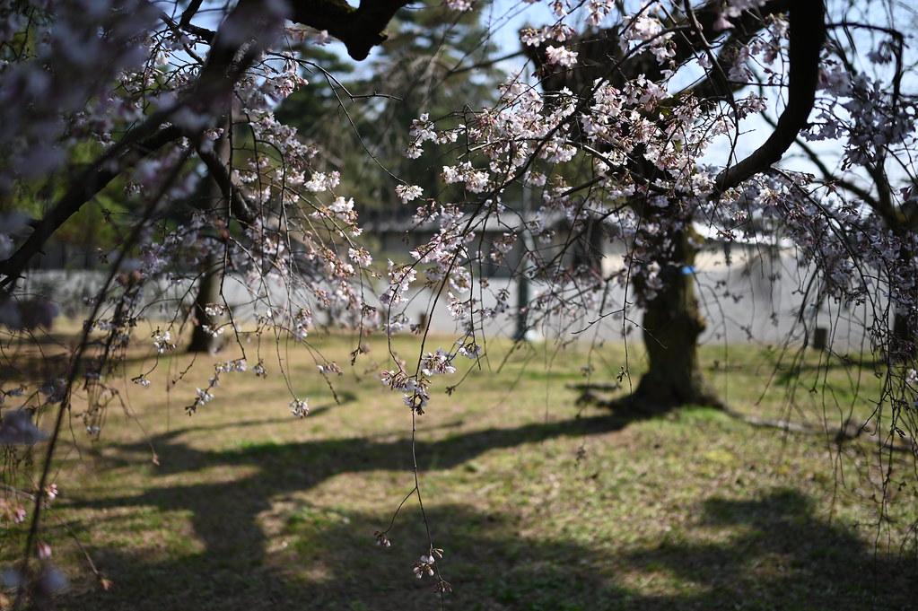 近衛邸跡の糸桜 11