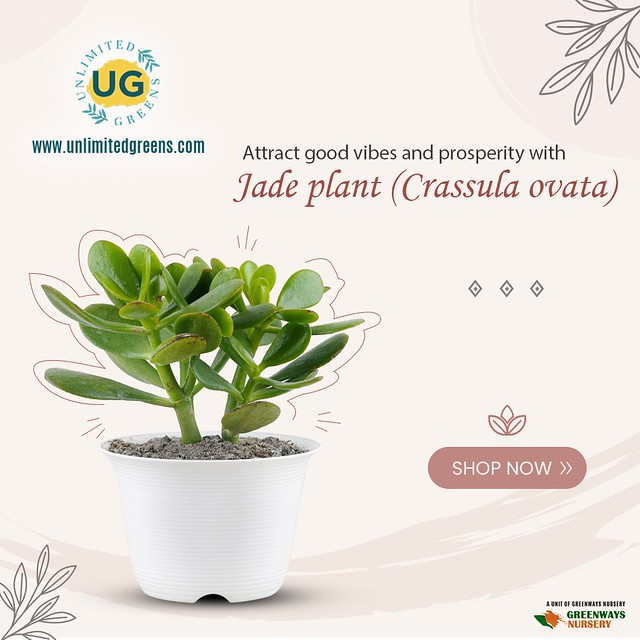 Attract Good Vibes and Prosperity With Jade Plant (Crassula Ovata)