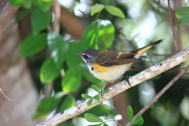 American Redstart Juvenile male  /Paruline flamboyante Juvénile mâle ( Richard )