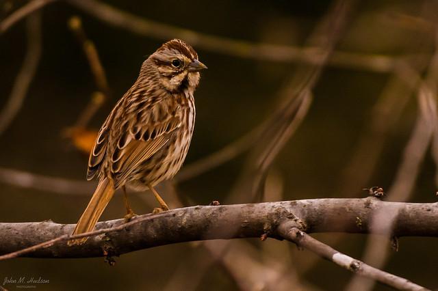 2021.02.14.9574.D850 Song Sparrow