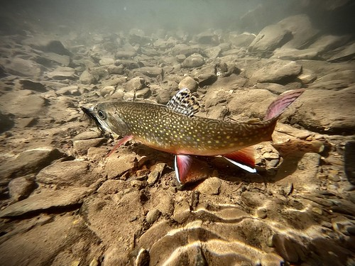 Photo of brook trout in the water