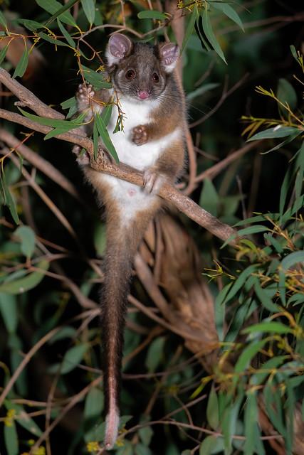 Common Ringtail Possum - Pseudocheirus peregrinus