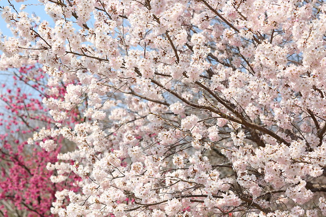 Cherry in full bloom
