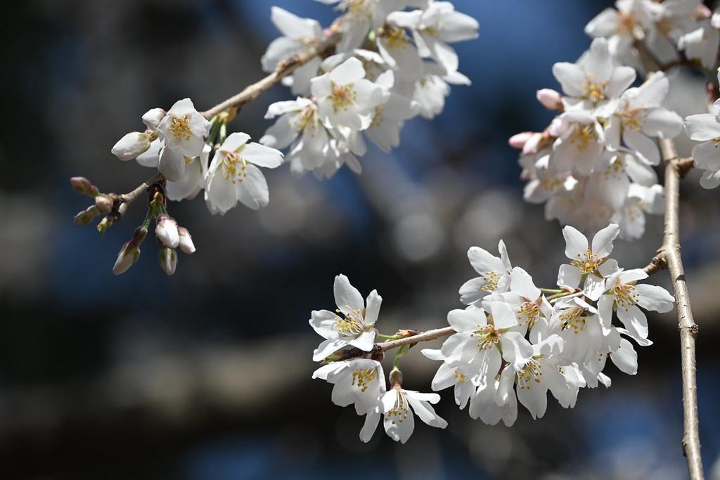近衛邸跡の糸桜 3