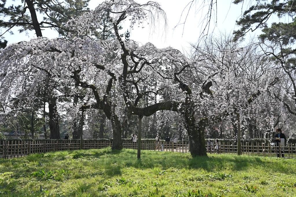 近衛邸跡の糸桜 2
