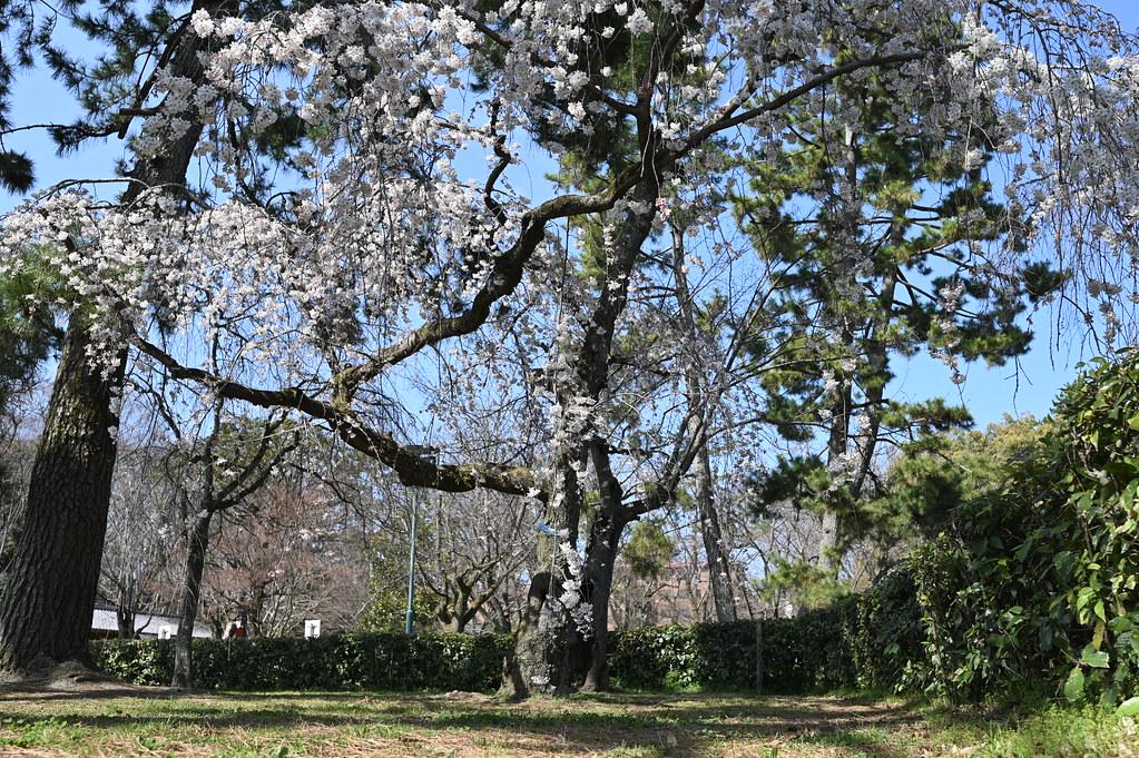 近衛邸跡の糸桜 8