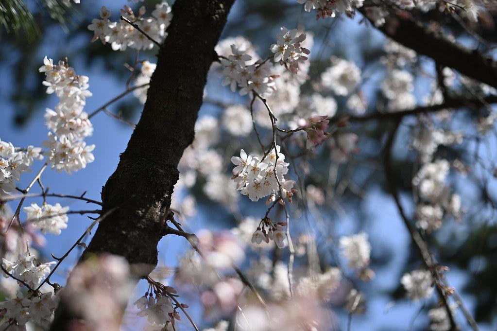 近衛邸跡の糸桜 5