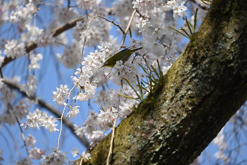 近衛邸跡の糸桜 1