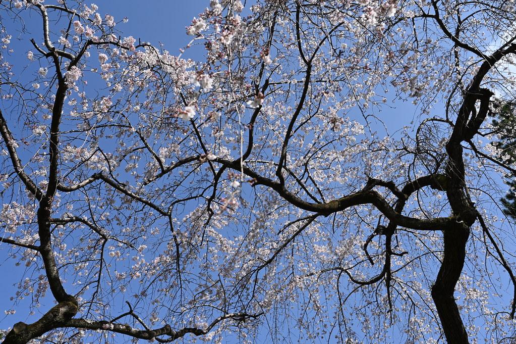 近衛邸跡の糸桜 4