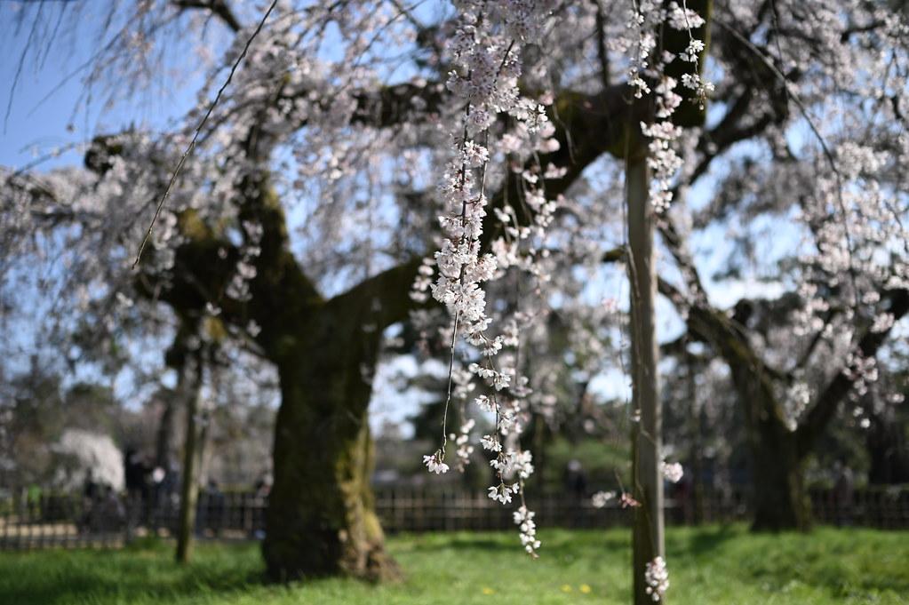 近衛邸跡の糸桜 6