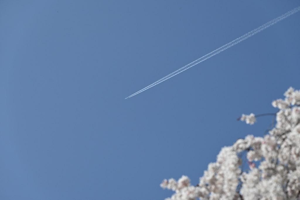 近衛邸跡の糸桜 14
