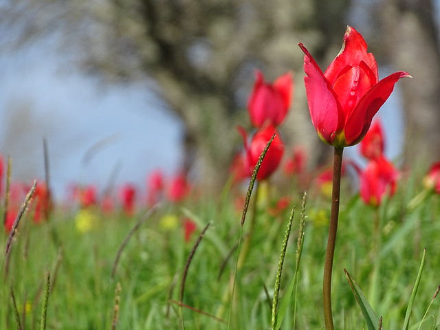 bounty tulipe