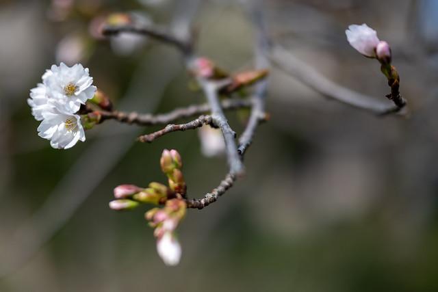 Sakura(櫻花)