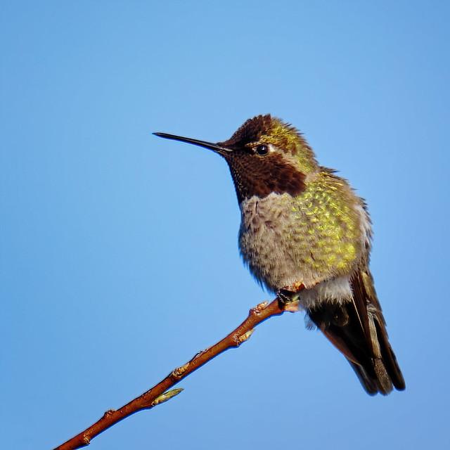 Anna's Hummingbird perched