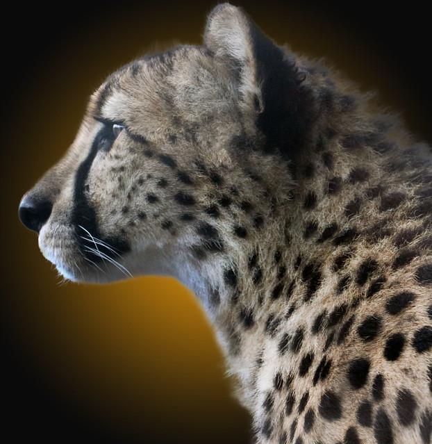 Cheetah Gradient