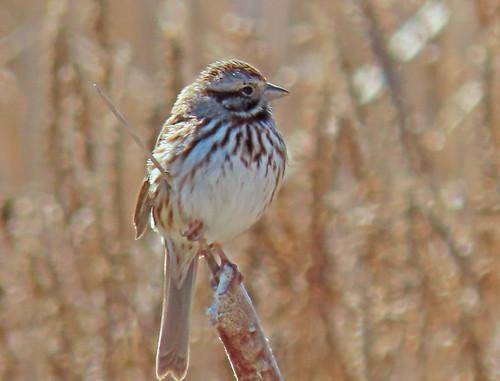 Song Sparrow - Twin Cedars - © Ann McMican - Mar 13, 2021