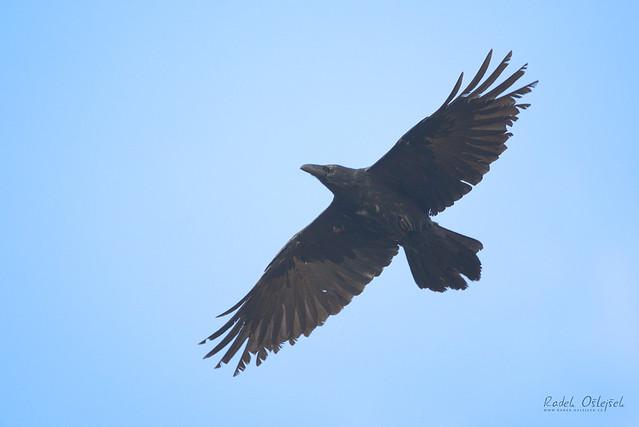 Common raven, krkavec velký, CZE, 2021
