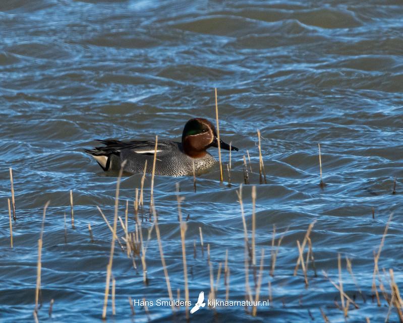 Wintertaling (Anas crecca)-850_2263