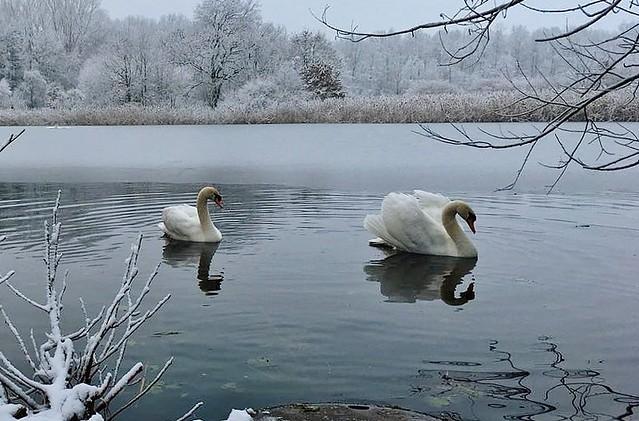 Germany, Schwanenpaar im winterlichen See, 60083/13473
